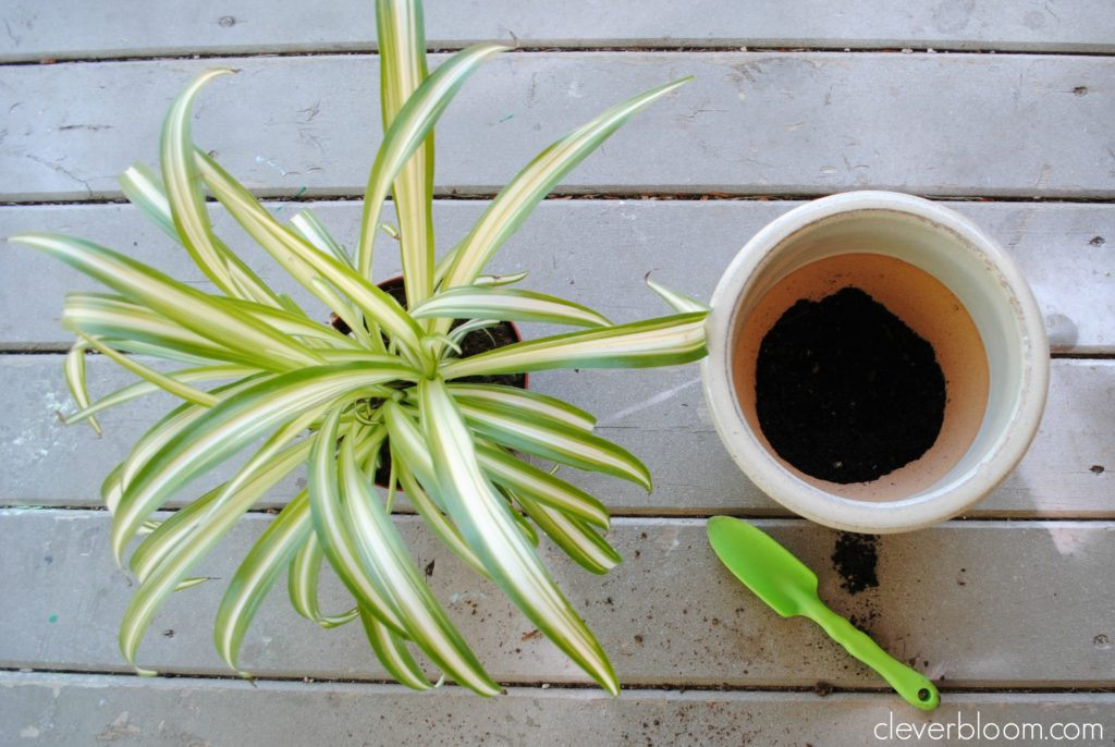 Learn the basics of How to Re-Pot a Houseplant on cleverbloom.com