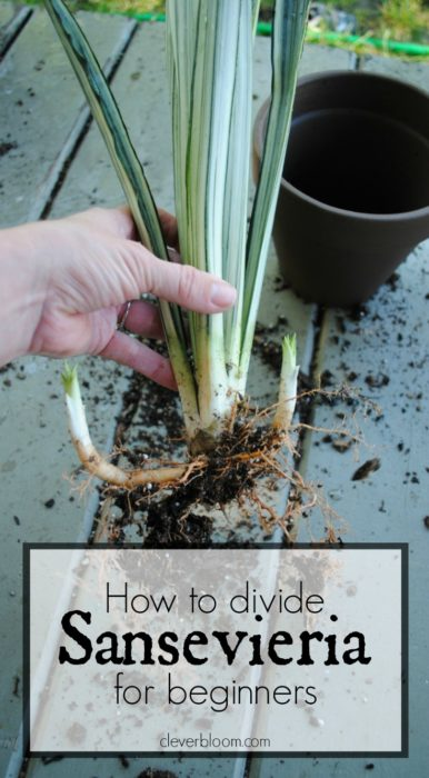 How to divide Sansevieria for beginners - Clever Bloom