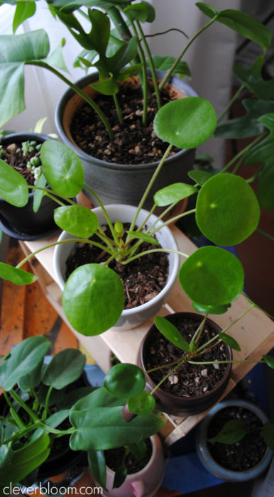 Your Pilea Peperomioides questions answered on Clever Bloom. White spots, brown spots, curling leaves...everything you want to know!