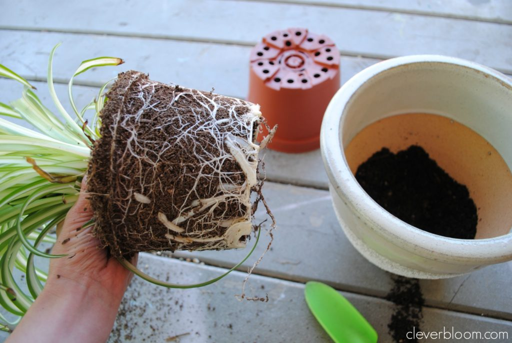 How to Re-Pot a Houseplant - Clever Bloom