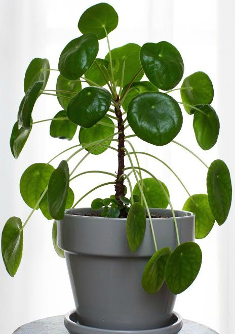 The best tips on how to care for pilea peperomioides - Chinese money plant - ufo plant - missionary plant