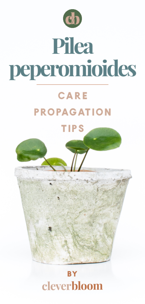 How To Care For Pilea Peperomioides - Clever Bloom