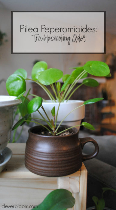Pilea Peperomioides: Troubleshooting Q&A - Clever Bloom