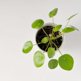 Pilea Peperomioides: Troubleshooting Q&A