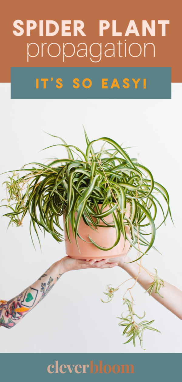 Propagate Spider Plants Clever Bloom